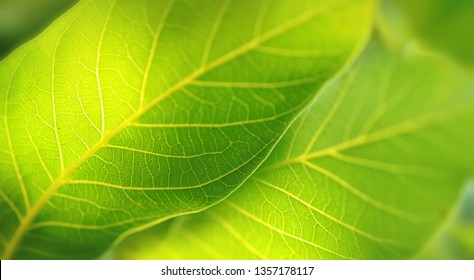 Texture of juicy fresh green leaves glow in sunlight close-up in nature in spring summer macro.