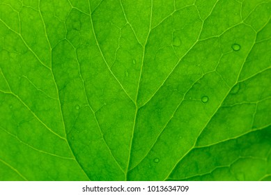 texture of leaf background, leaf texture Centella asiatica