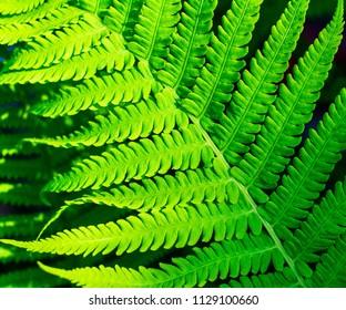 texture leaf decorative garden fern - Shutterstock ID 1129100660
