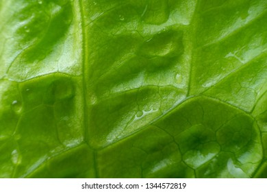 texture of lettuce leaves with water drops close-up. macro photography green background