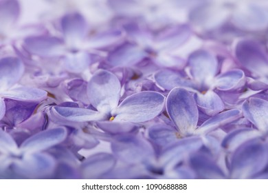 Texture of lilac petals, close-up. Background of spring flowers