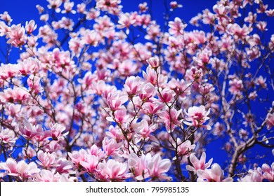 Texture of magnolia pink flowers. Beautiful magnolia on blue sky background. Selective focus on magnolia flowers. Magnolias flowers in spring day with blue sky. Amazing pink magnolia buds background.