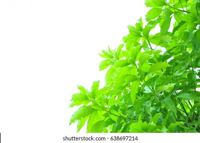 Texture of the mango leaves on white background.