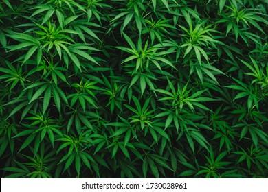 texture marijuana leaves, cannabis bush wallpaper, medical hemp, organic farm