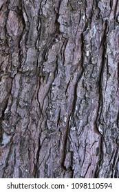 Texture of old maple tree bark