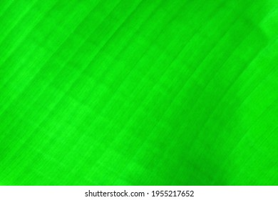 The texture and pattern of the full frame green banana leaves is used for background, green leaf background.