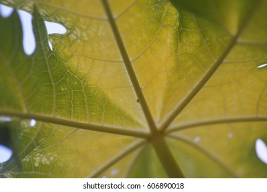 Texture and patterns of papaya leaf for background use. (Selective focusing)