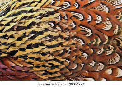 Texture pheasant feather