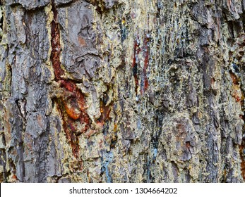 Texture Photograph of Bleeding Pine Tree in Atlanta Georgia. Bleeding sap from a Pine Tree. The bark of the pine Tree is bleeding like blood. The tree is scared from an axe.