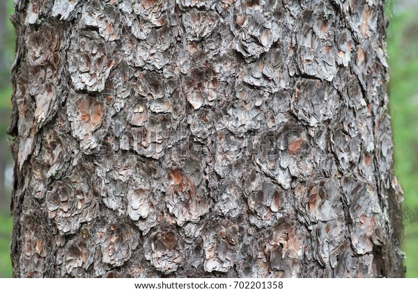Texture of pine bark