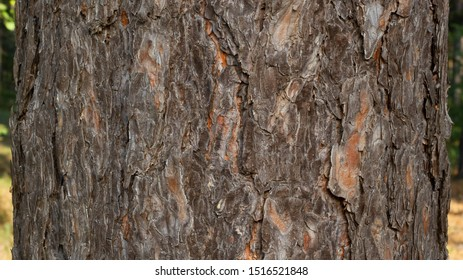 Texture of pine bark. Tree or pine in the forest. Background of tree bark.