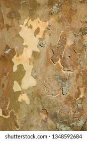 texture of plane tree bark , sycamore tree