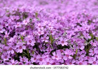 Texture with a lot of purple flowers Phlox subulata (creeping phlox, moss phlox, moss pink, mountain phlox) - Shutterstock ID 1977583742