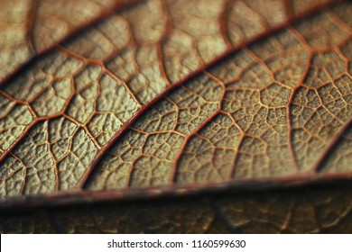 Texture of skeleton of dried leaf, macro