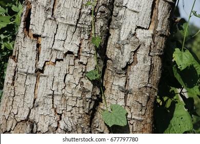 Texture or surface of the Ebony bark.