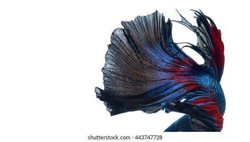 Texture of tail of red-blue siamese fighting fish isolated on white background. betta fish.
