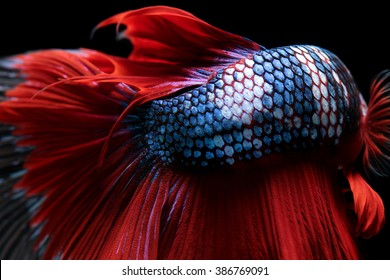 Texture of tail siamese fighting fish