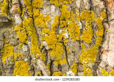 texture of tree bark with lichens.
