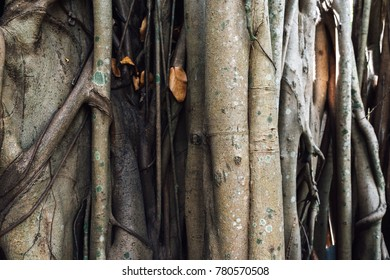 texture trunk root of Ficus benghalensis Indian banyan tree