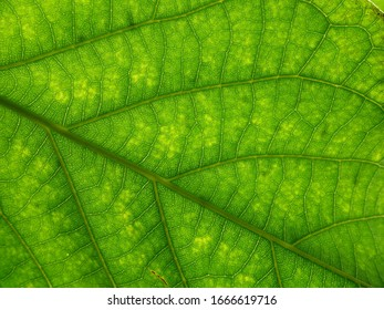 Texture from under an avocado tree leaf with sun light passing trough
