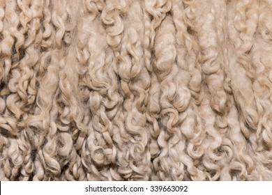 Texture of unprocessed curly merino wool