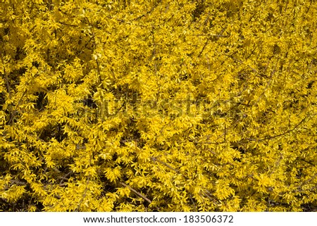 Texture Yellow Flowered Bush Early Spring Stock Photo Edit Now