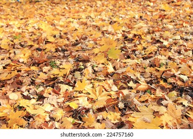 texture of yellow leaves on the ground park maples
