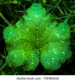 texture of young green pumkin leaf