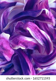 textured background of dry tulip petals in modern colors purple, close-up