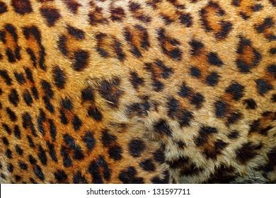 textured detail of leopard fur ( panthera pardus )