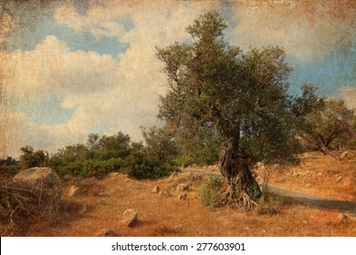 Textured old paper background with ancient olive tree. Bible landscape. Judaean Mountains, (Judaean Hills). Israel. Picture of Bible landscape in vintage style