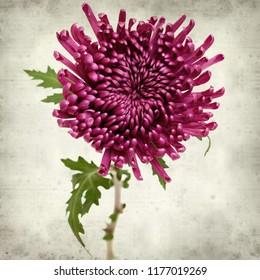 textured old paper background with dark purple chrysanthemum