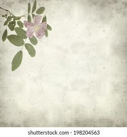 textured old paper background with dog rose