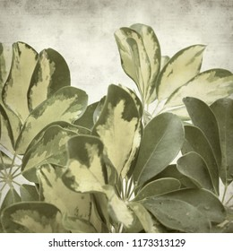 textured old paper background with variegated leaves of dwarf umbrella tree