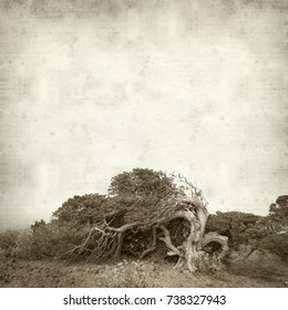 textured old paper background with windswept juniper tree on El Hierro, Canary Islands