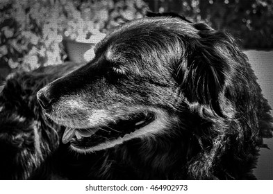 Textured Older Flat Coated Retriever Resting on Patio on a Sunny Summer Day in Black and White