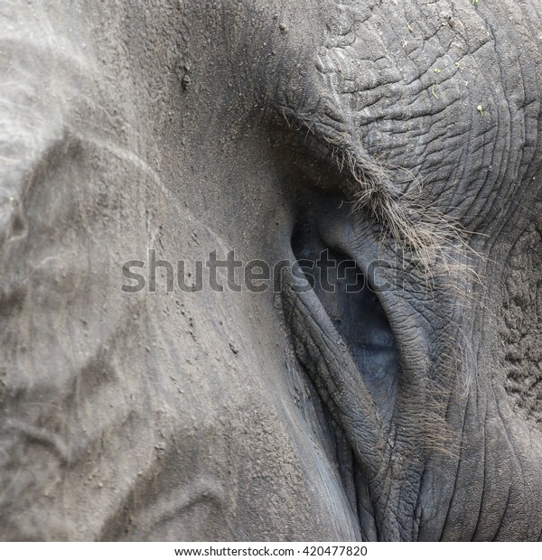 Textured Skin African Elephant Ear Stock Photo Edit Now 420477820