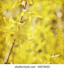 Textured, vintage style spring forsythia in bloom