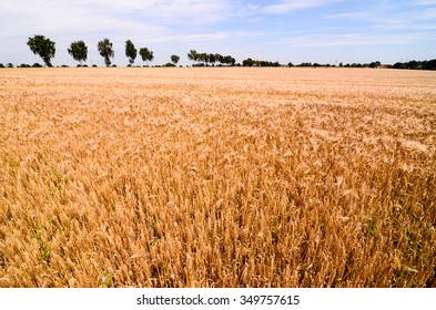 Textured Wheat Field at Europen Countryside in Germany