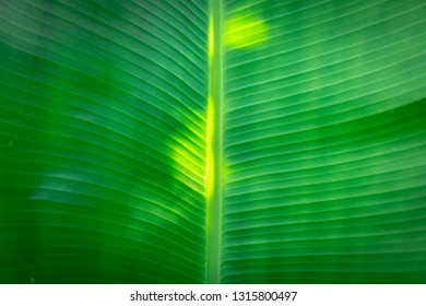 The textures of banana leaves.