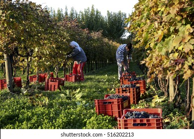 TEZZE DI PIAVE, ITALY - 6 NOVEMBER 2015: Employees picking Raboso grapes from vines on the last day of harvest at an Italian vineyard.