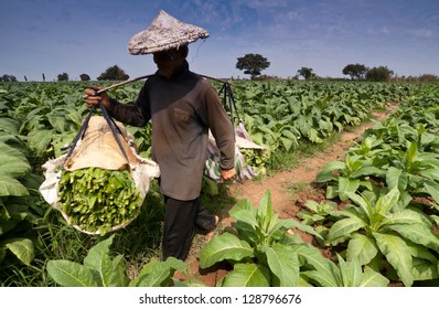 THA BO VILLAGE-NONGKHAI, FEB 2 : Farmer carries tobacco leaf out of the field on February 2,2013 in Nongkhai Thailand.The villagers grow tobacco plantations along the area parallel to the Mekong River