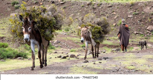 Thaba Tsheka, Lesotho, 12/22/2017 Donkeys used as pack animals in Lesotho.  Man coming from field with his donkeys and dog.