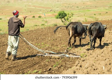 Thaba Tsheka, Lesotho, 12/22/2017 Farmer working his fields with oxen in Lesotho.  Lesotho is primarily a country of subsistence farming, with most people growing food for their own consumption.