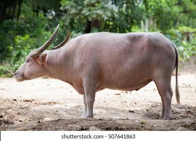 Thai albino buffalo  (Thailand Pink buffalo)