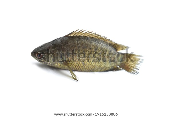 Thai Anabas testudineus is a separate freshwater fish on a white background, perfect for presentations.