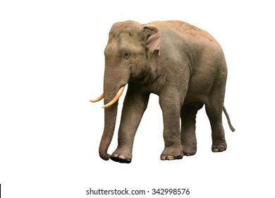 Thai Asia elephant isolated on white background