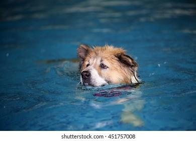 Thai Bangkaew dog wear life jacket colorful military pattern swim in swimming pool, dog swimming, happy dog, dog activity