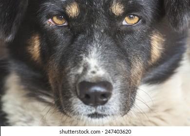 Thai bang-kaew dog,close-up