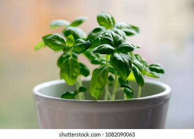 Thai basil plant with green leaves, common basil healthy edible herb in white pot, blurry background